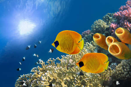 chaetodon: Masked butterfly fish (Chaetodon semilarvatus) and Tube Sponges