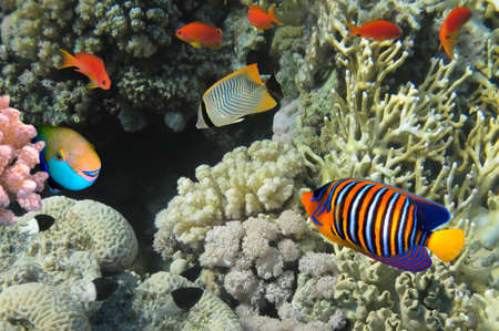 sarcophyton: Coral fish. Red Sea. Egypt