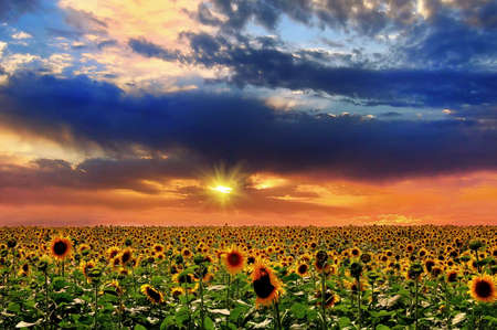 in fields: Sunset and sunflower.