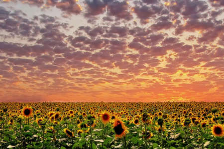 Sunset and sunflower. photo
