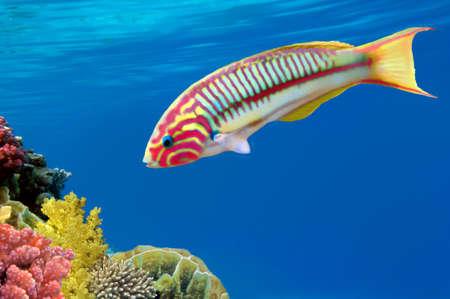 Korallenfische Thalassoma Klunzingeri (Klunzinger