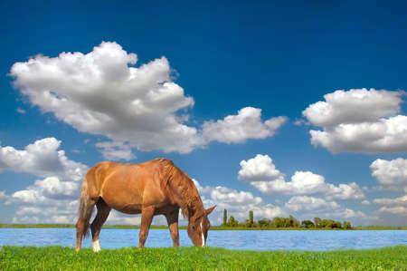 青い空、夏の牧草地の馬
