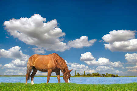 Horse in the meadow, summer, blue sky photo