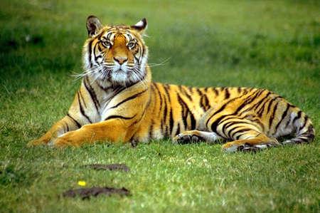 緑の草のトラ 写真素材