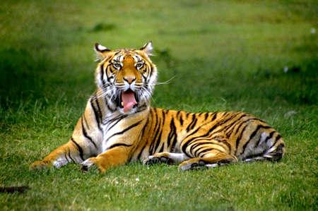 로얄 벵골 호랑이의 초상화