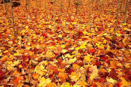 Warm colors of Autumn. Maple leaves covering the ground photo