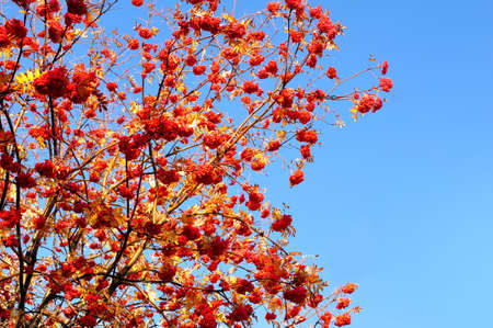 sorbus aucuparia: Rowan Berries (Sorbus aucuparia).