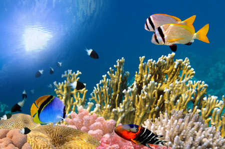 red coral colony: Underwater life of a hard-coral reef, Red Sea, Egypt. Stock Photo