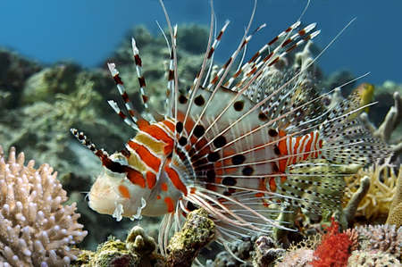 salt water fish: Spotfin lionfish (Pterois antennata). Stock Photo
