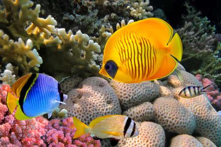 マスクの蝶の魚 (チョウチョウウオ semilarvatus)、紅海、エジプト。