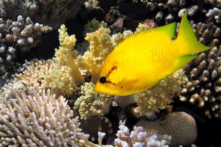 Coral rabbitfish (siganus corallinus). Stock Photo - 10302801