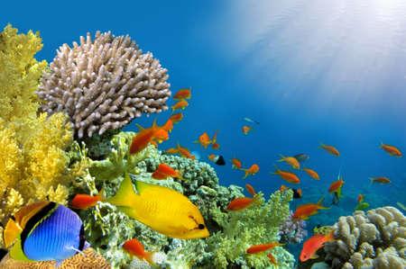 tropical tank: Coral rabbitfish (siganus corallinus) Stock Photo