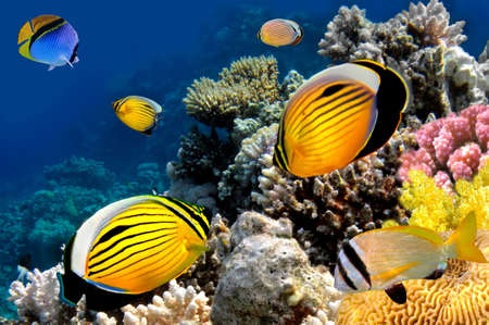 butterflyfish: Polyp Butterflyfish, Red Sea, Egypt