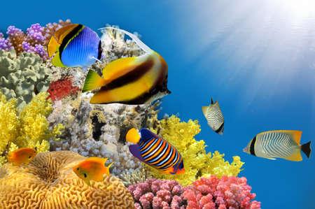 corales marinos: Foto de una colonia de coral en un top de arrecife, mar Rojo, Egipto.