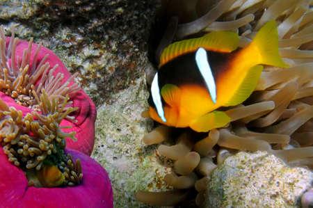 Red Sea Anemonefish (amphiprion bicinctus). photo