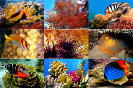 pomacanthus imperator: Mar Rosso. Pesci di coralli, Chaetodon Auriga, Bannerfish, labridi Redbreasted, Due coniglio barrate, Spotted Ray, Abudefduf sexfasciatus