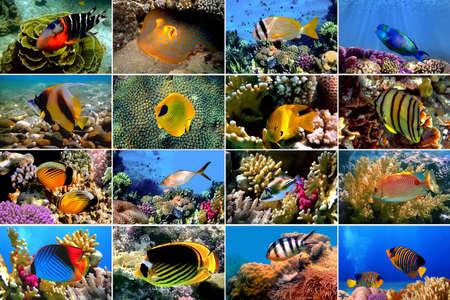 pomacanthus imperator: Set di Close-up 16 pesci tropicali. Concetto subacqueo