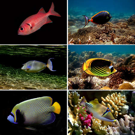 Tropical fish collection, Chaetodon auriga, picassofish, Balistapus undulatus,  Stock Photo - 10314611