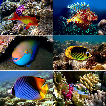 pomacanthus imperator: Tropical fish collection, Chaetodon auriga, picassofish, Balistapus undulatus,  Stock Photo