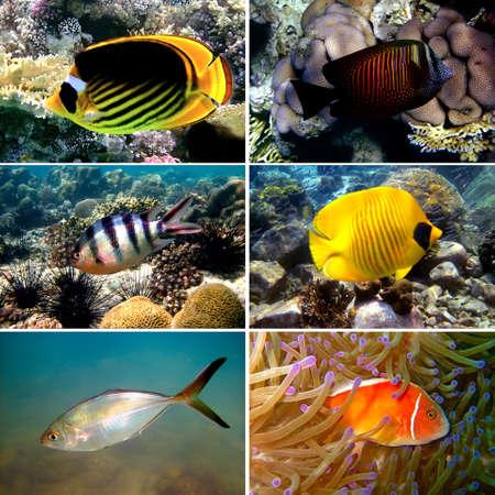 chaetodon: Tropical fish collection, Nemofish, Abudefduf sexfasciatus, Masked Butterfly Fish, Chaetodon fasciatus