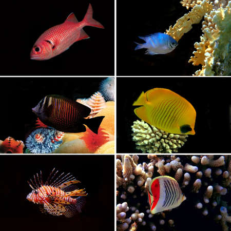 Tropical fish collection, Bannerfish, Labroides Dimidiatus, Two Barred Rabbitfish, Red-breasted Wrasse Stock Photo - 10314610