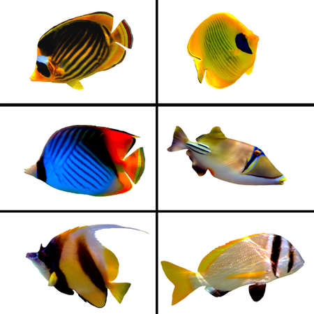 rabbitfish: Tropical fish collection, Bannerfish, Labroides Dimidiatus, Two Barred Rabbitfish, Masked Butterfly Fish, Rhinecanthus assasi Stock Photo