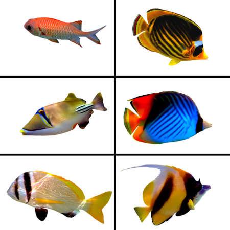 arrecife: Colecci�n de peces tropicales, Bannerfish, Labroides dimidiatus, dos quimeras Barred, pescado enmascarados mariposa, Rhinecanthus assasi Foto de archivo