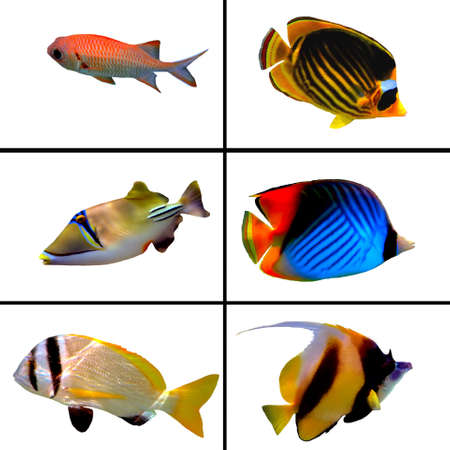 Tropical fish collection, Bannerfish, Labroides Dimidiatus, Two Barred Rabbitfish, Masked Butterfly Fish, Rhinecanthus assasi Stock Photo