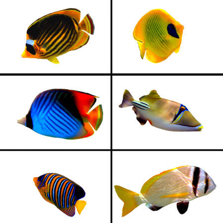 bannerfish: Tropical fish collection, Bannerfish, Labroides Dimidiatus, Two Barred Rabbitfish, Masked Butterfly Fish, Rhinecanthus assasi Stock Photo