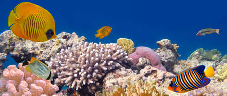 red coral colony: Underwater panorama with Masked Butterfly Fish. Red Sea, Egypt