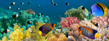 red coral colony: Underwater panorama with Angel fish, coral reef and fishes. Red Sea, Egypt