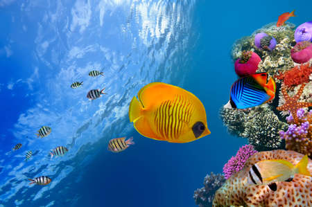 Masked butterfly fish (Chaetodon semilarvatus), Red Sea, Egypt. Stock Photo