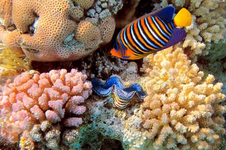 pygoplites diacanthus: regal angelfish (pygoplites diacanthus), Red Sea, Egypt Stock Photo