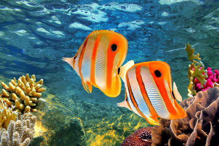 reef fish: Copperband butterflyfish (Chelmon rostratus)      Stock Photo