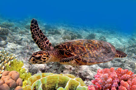 corales marinos: Green Sea Turtle nadar en el oc�ano del mar
