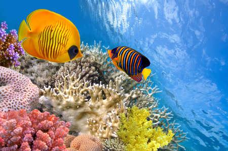 pygoplites diacanthus:  Masked butterfly fish (Chaetodon semilarvatus) and regal angelfish (pygoplites diacanthus).