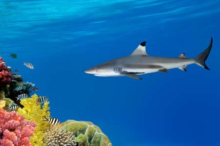 skin diving: Grey Reef Shark swims