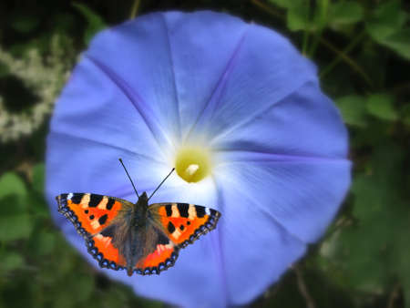 funnel shaped: blue ipomoea and butterfly