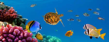 ウミガメ、サンゴ礁と魚の水中パノラマ。シャルムエルシェイク、紅海、エジプト 写真素材