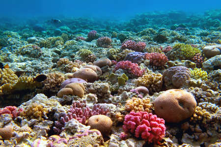 red coral colony: Coral reef, Red Sea, Egypt. Stock Photo