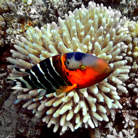 hardcoral: Redbreasted wrasse