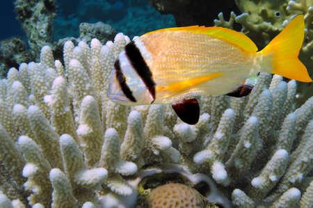 hardcoral: Doublebar bream (acanthopagrus bifasciatus) , Red Sea, Egypt.