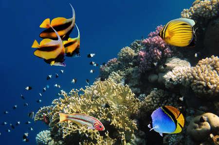 peces de acuario: La vida submarina de un arrecife de coral duro, Mar Rojo, Egipto