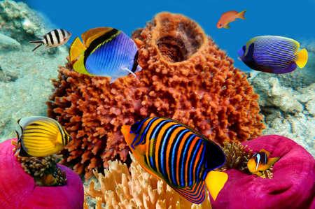 エジプト紅海でリーガル エンゼルフィッシュ 写真素材
