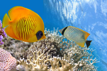 Underwater life of a hard-coral reef, Red Sea, Egypt. Stock Photo