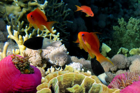 hardcoral: Underwater life of a hard-coral reef, Red Sea, Egypt