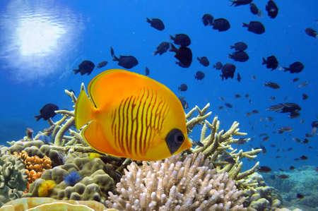 サンゴ礁とマスクの蝶の魚の水中イメージ。