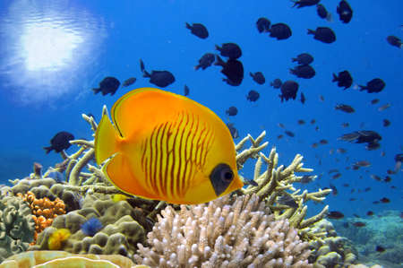 산호초와 마스크 나비 물고기의 수중 이미지.