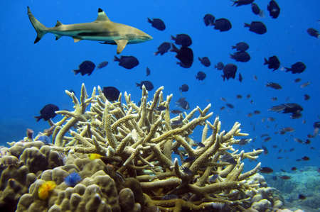 dangerous reef: Whitetip sharks over coral reef