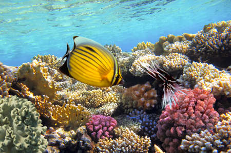 Underwater life of a hard-coral reef, Red Sea, Egypt. Banco de Imagens